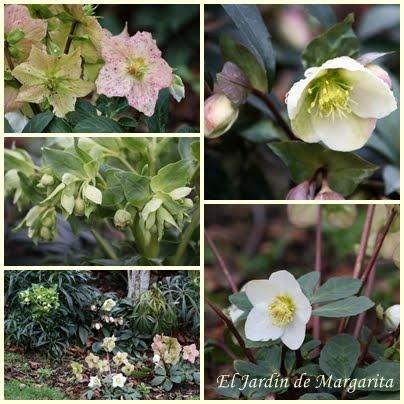 . El Jardin de Margarita .: Plantas valientes que florecen en pleno invierno.