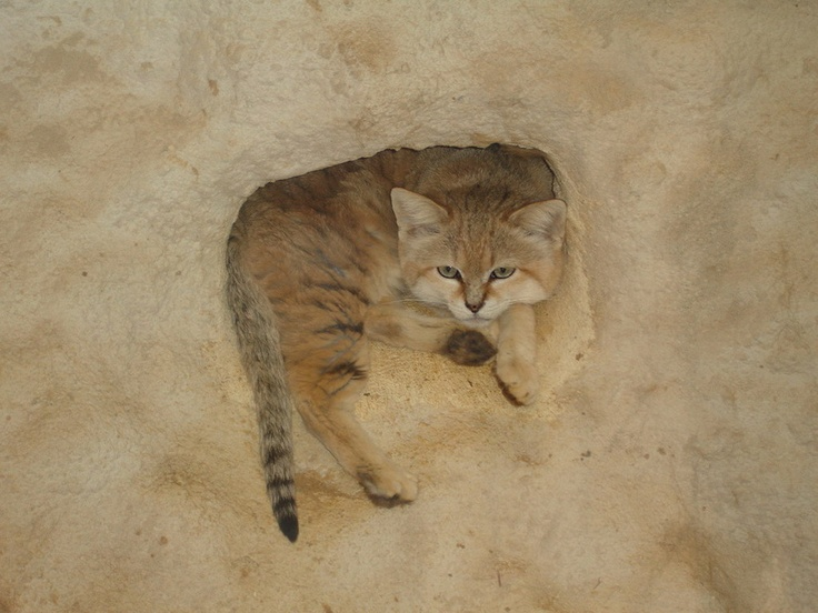 Sand Cat This species of cat is found in deserts of