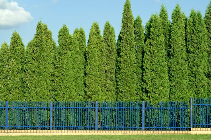 Learn the difference between Emarld Green Thujas and Thuja Green Giants to discover which Thuja Variety is best for your landscape.