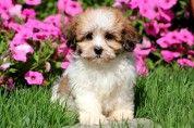 Shichon Puppy: Cassie