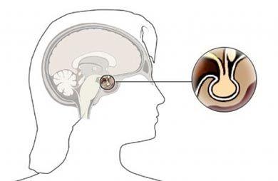La glándula pituitaria conocida también como hipófisis, término que proviene del griego hipo ('debajo') y fisis ('crecer'), se conoce como la glándula de l