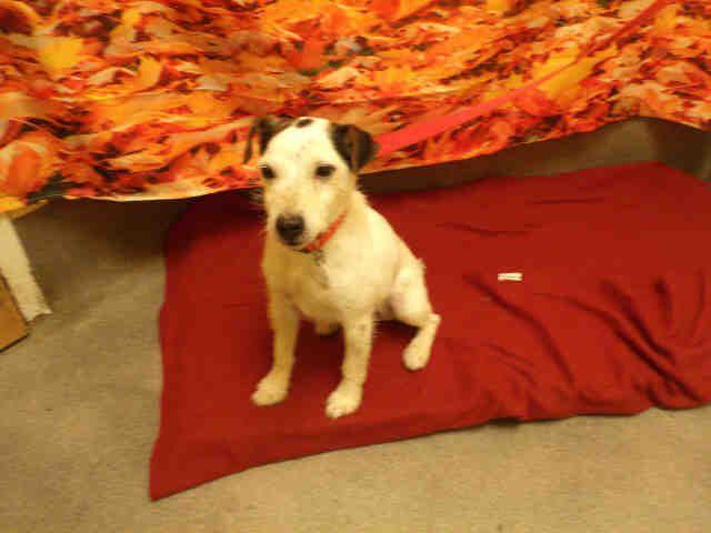 Parson Russell Terrier dog for Adoption in Forestville, MD. ADN-634079 on PuppyFinder.com Gender: Male. Age: Senior