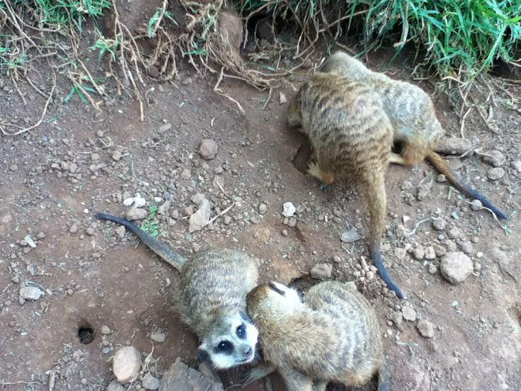 Meerkats at Johannesburg Zoo