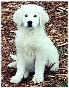 Maremma Sheepdog puppy :D so cute