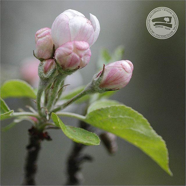#kwiaty jabłoni #Cortland #MalusDomestica #różowate #jabłoń #Cortland #sadownictwo #sad #zapylacz #ogrodnictwo #makro #WOBiAK #SGGW 🍎🍎🍎 #apple #flowers Cortland #Malus Domestica #rosaceae #fruitgrowing #orchard #pollinator #horticulture #macro #macrophotography #WULS