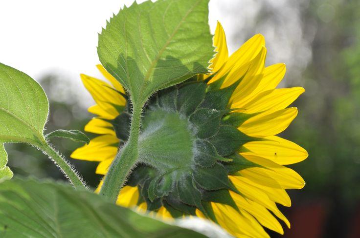Sunflower in my garden