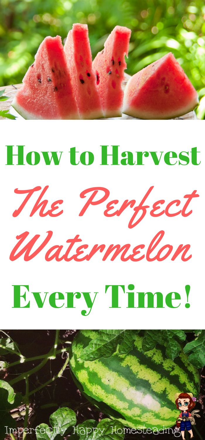 How to harvest the perfect watermelon from your garden every time. How to pick the sweetest and most delicious melon!