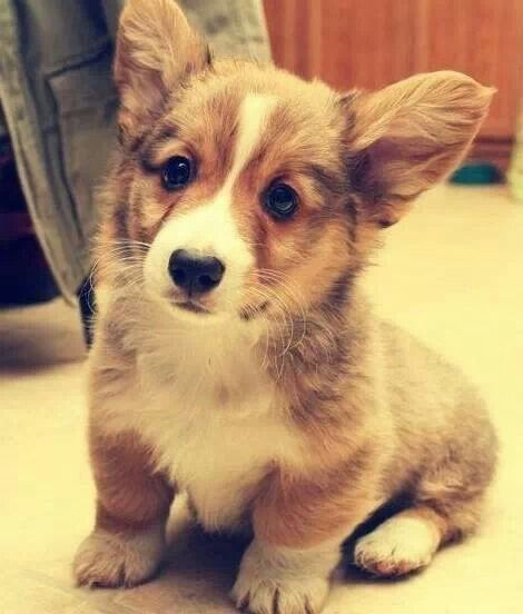 17 Best Images About Pins For Pets On Pinterest: 17 Best Ideas About Corgi Pups On Pinterest