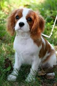 ruby and white english toy spaniel