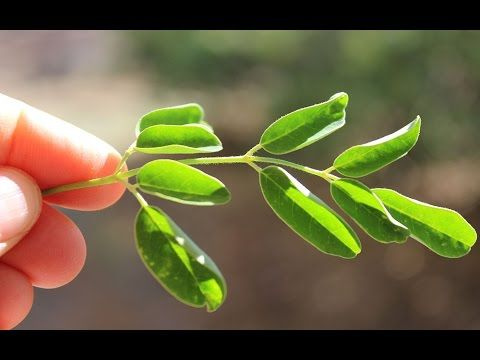 how to use moringa as fungicide