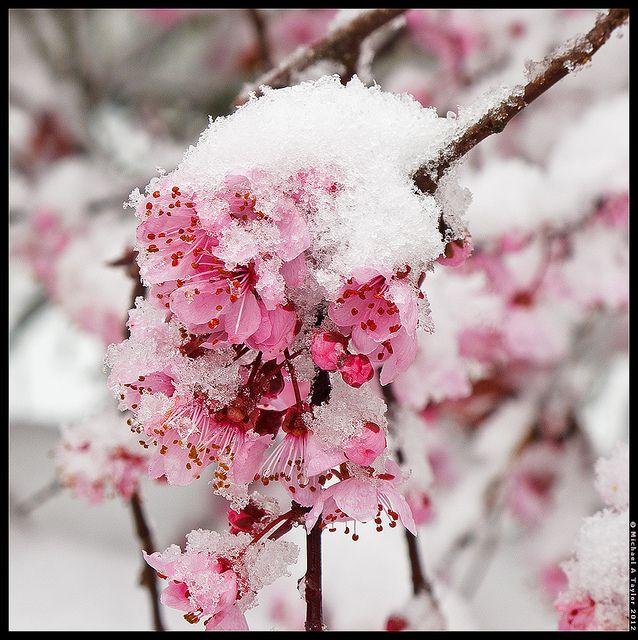 1st Day of Spring by - M i c h a e l  #Flowers #Snow
