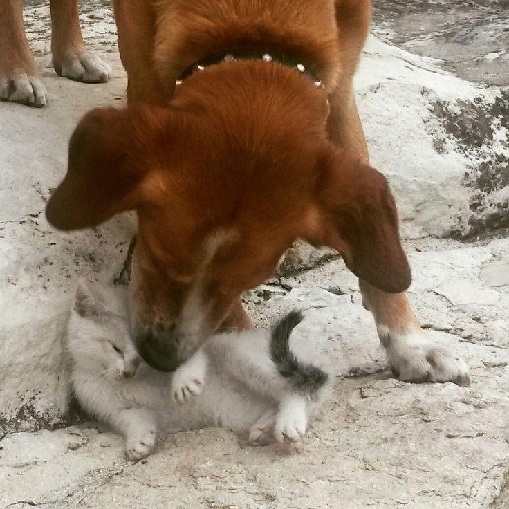 Gattino e cane che si fanno le coccole #agriturismoilportone #animali #abruzzo