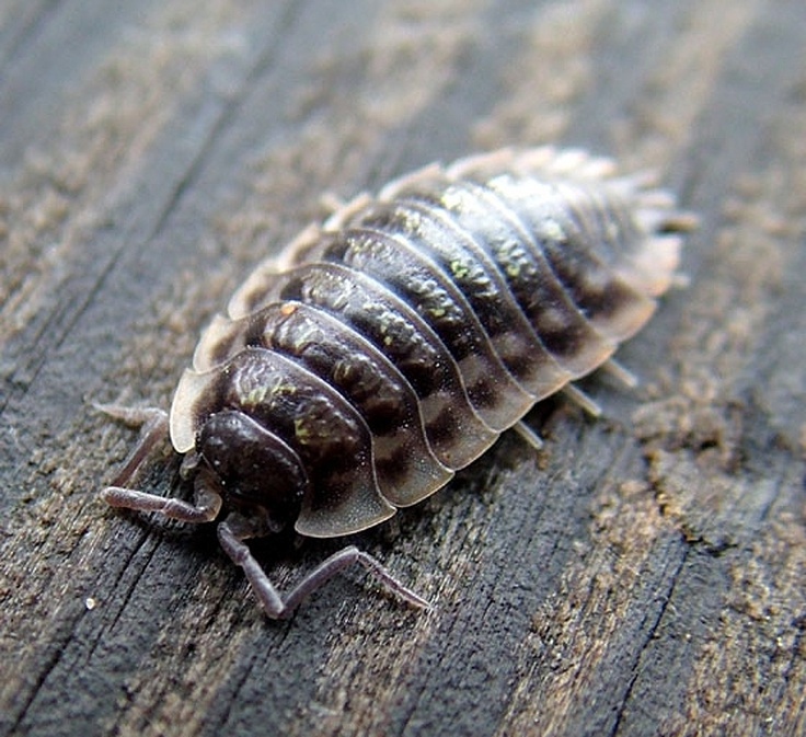 Oniscus asellus - Common Woodlouse -- Sighted: New York, etc.