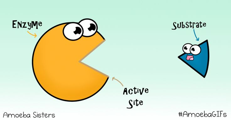 A GIF created by the Amoeba Sisters demonstrating how a substrate binds to the active site of an enzyme. #AmoebaGIFs http://www.amoebasisters.com/amoebagifs.html
