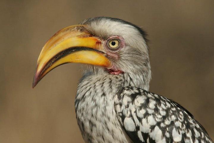 Yellow Billed Hornbill.