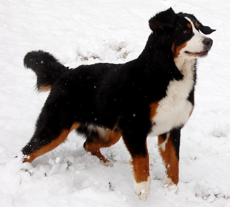 Character references MAXIMUS Bernese Mountain Dog Snow