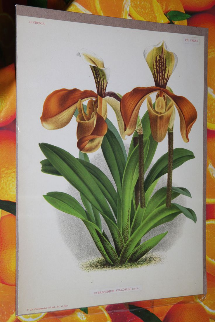 Paphiopedilum Orchids Plants for Sale | Paphiopedilum villosum plants for sale UK - super yellow, bronze and ...