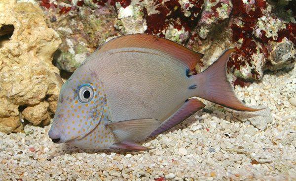 Goldtupfen-Doktorfisch