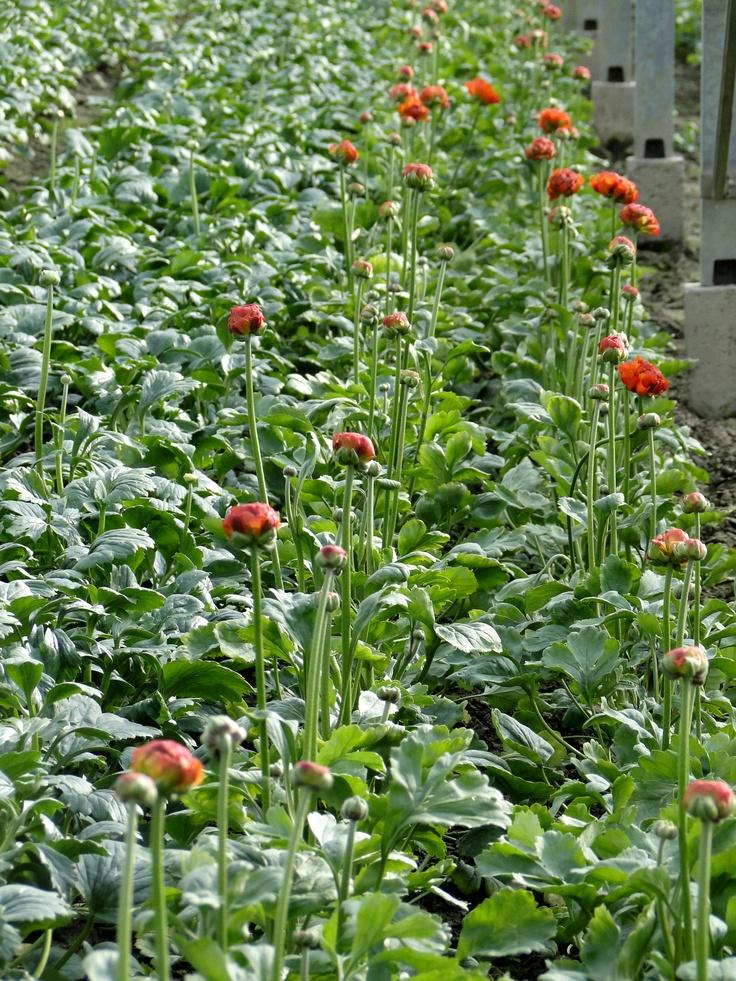 Ranonkel teelt    www.combinations.eu  Young plants