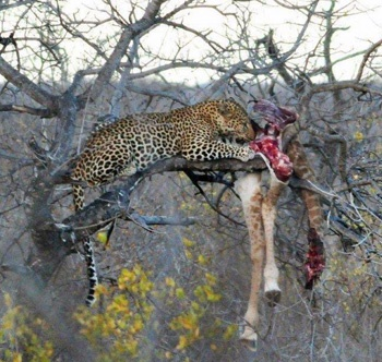 Leopard Kill, Kruger National Park