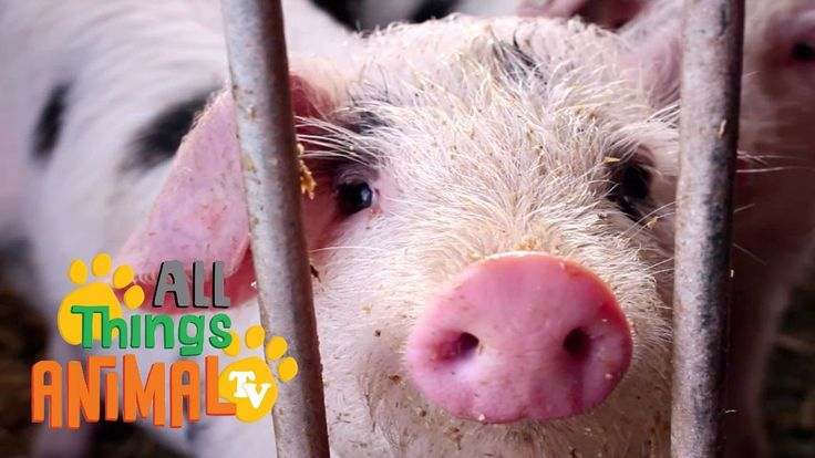 PIGS: Animal videos for children| kids| toddlers. Preschool and Kinderga...
