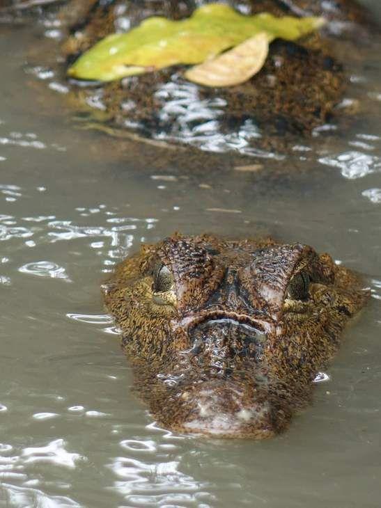 Photo Costa Rica Tortuguero Jeune Caïman à lunettes 3 - Tortuguero, c'est à la fois un village afro-caribéen qui s'étire sur 6,5 km de péninsule sableuse entre le lagon et la mer et un superbe parc national. Tortuguero signifie mot à mot «là où pondent les tortues», tout simplement car le parc national de Tortuguero a été, de tout  temps, une terre où les tortues venaient pondre.  Mais Tortuguero, ce n'est pas que les tortues... Une biodiversité unique en son genre se concentre dans ce parc…