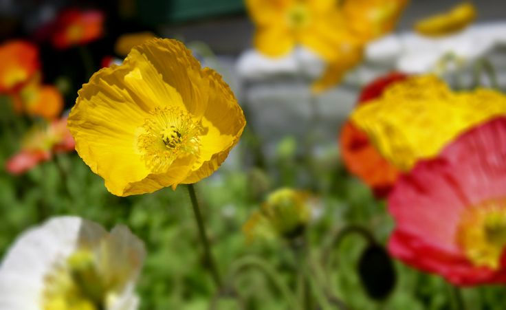 Pin By Kristine On Plants Poppies White To Yellow