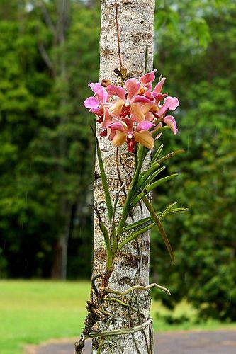 Vanda au natural | Flickr - Photo Sharing!
