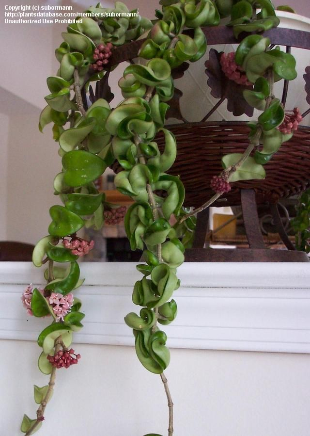 Full size picture of Hoya, Wax Plant, Hindu Rope, Indian Rope, Angel Rope, Porcelain Flower Krinkle Kurl (iHoya compacta/i)