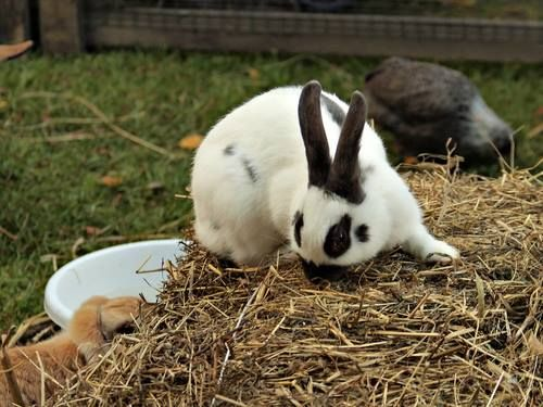 Rabbit's teeth can grow at a rate of 3mm per week and this is why eating lots of grass and hay helps to wear their teeth down. #TeethTuesday