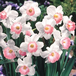 Pink Charm Daffodil