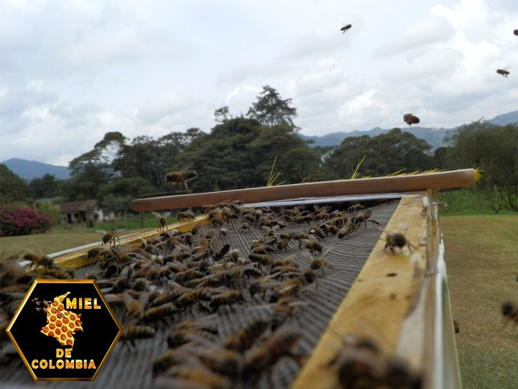 Sin embargo, es claro que las abejas africanizadas se especializan más en la recolección de polen que de néctar. compararon la proporción de abejas pecoreadoras que se dedicaban a la recolección de polen entre colonias africanizadas y europeas en Venezuela, y encontraron que más de 30% de las abejas de colonias africanizadas realizaban viajes de polen, mientras que menos de 15% de las europeas lo hacían.