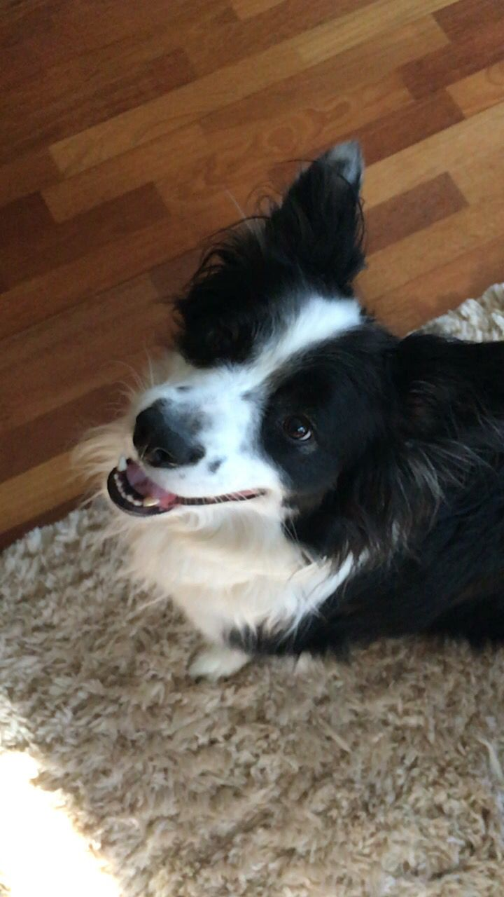 Benton the Borgi border collie corgi mix rescue dog, adopted dogs are the best