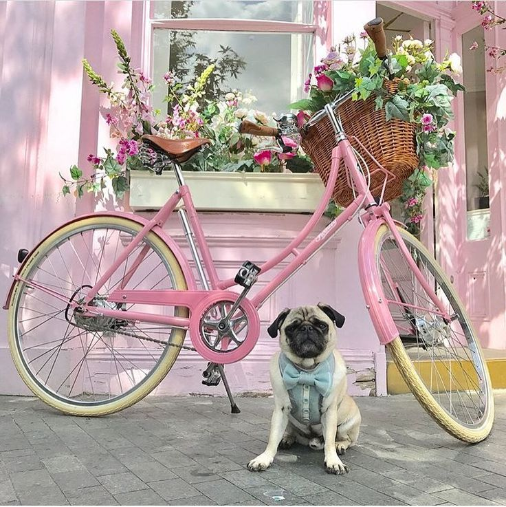 Loving all of the gorgeous photos @dougthepugtherapydog is posting from around London with London Bloom and the Chelsea Flower Show in full swing! Want to be featured on our Instagram? Tag your photos with #thepugdiary for your chance to be featured.