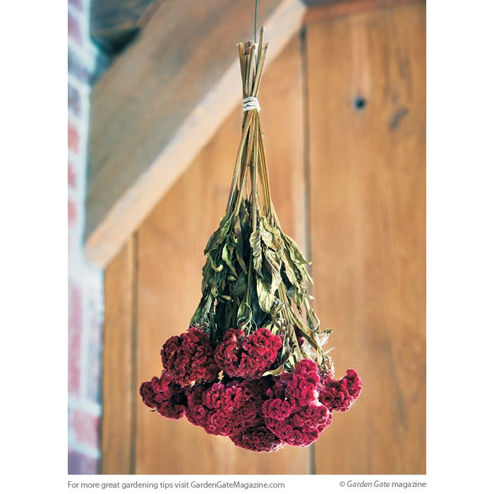 How To Dry Celosia Flowers Starting Seeds Indoors How To Preserve Flowers Holiday Centerpieces