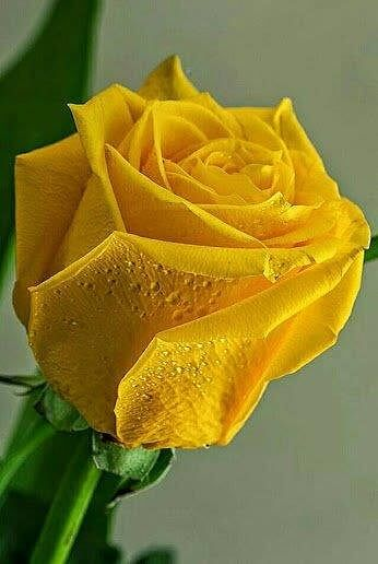 Yellow Rose Perfectly Beautiful                                                                                                                                                                                 Más
