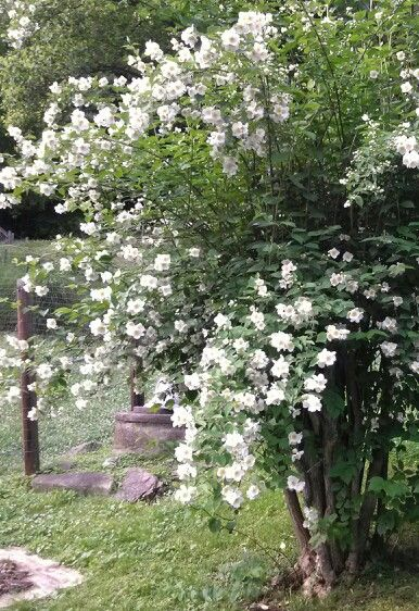 Mock Orange Tree. does well in our climate, attracts bees, smells amazing