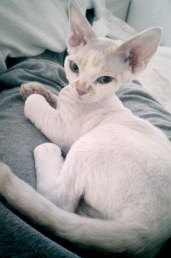 Pie, our Devon rex