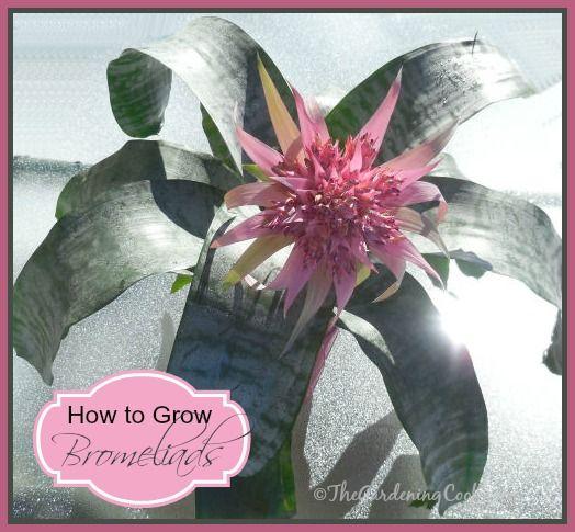 how to take care of bromeliads