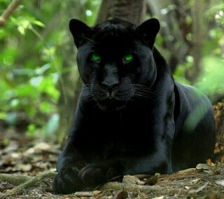 25+ best ideas about Black panther animal facts on Pinterest ...