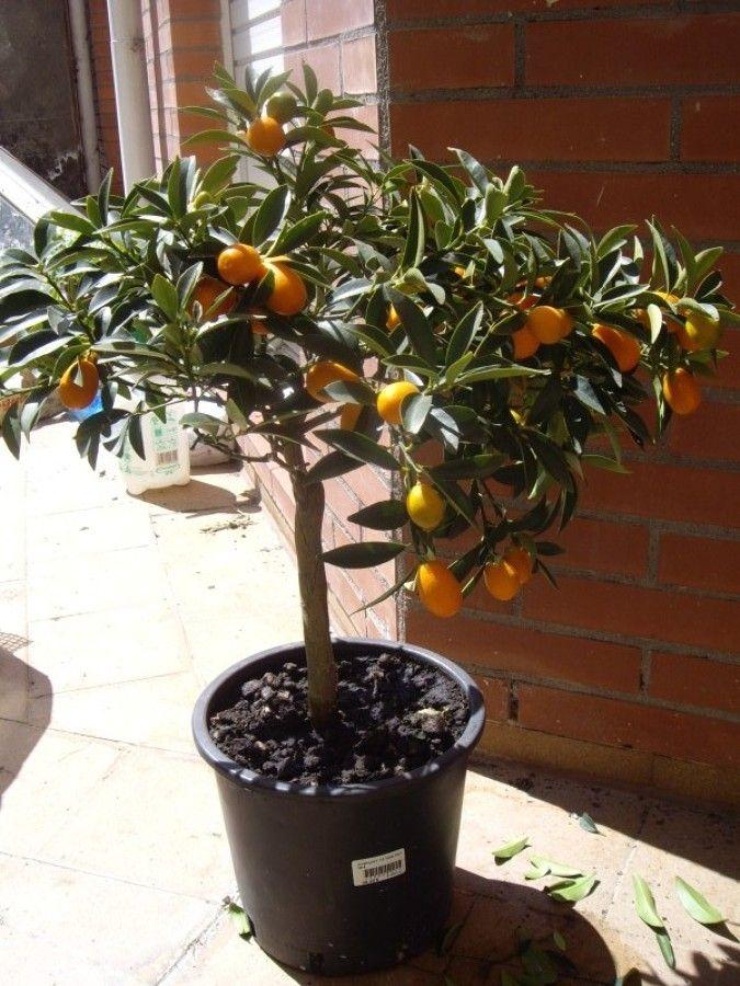 Como Manter Anãs As Árvores Frutíferas | Ideias Reformas Imóveis