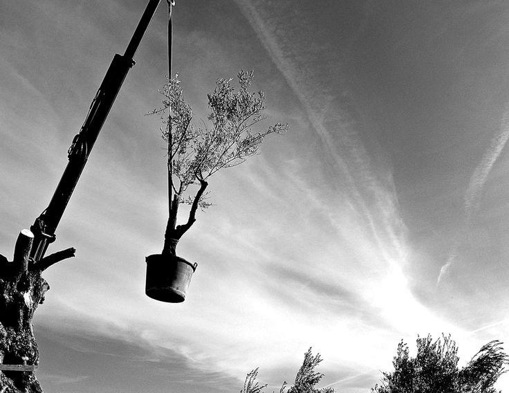 Olive tree hunging