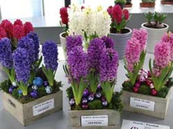 Sterke hyacinten voor een lange bloei
