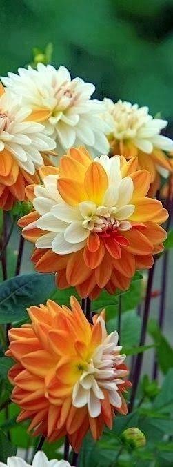 """De """"Rosanna"""" wordt ook wel Carnaval genoemd omdat ze met 3 kleuren in een pot geleverd worden."""