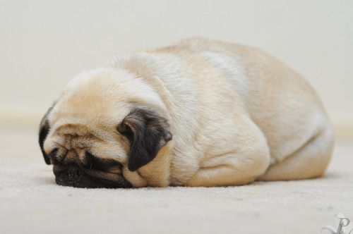 want a doggie: Sleep Dogs, Dogs Pics, Pugs Puppies, Funny Pics, Need A Hugs, Pugs Loaf, Baby Dogs, Pugs Life, Animal