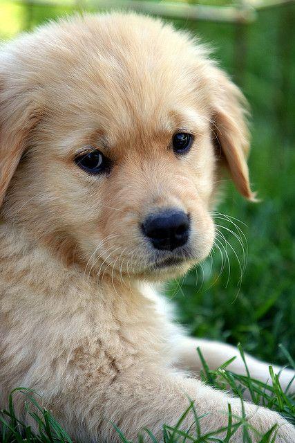 Dog golden retriever baby for Golden retriever puppies information