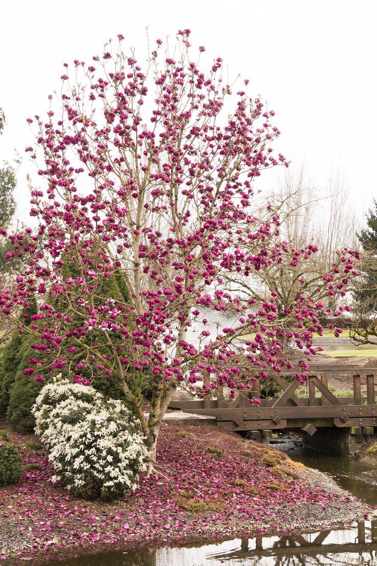 Black Tulip™ Magnolia - Monrovia - Black Tulip™ Magnolia. Pretty, deep purple blossoms. 10-15' tall X 6-10' wide.