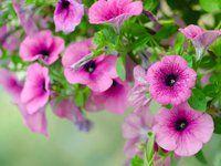 Krásné petúnie ze semen? Vypěstovat sazeničky ještě stihnete