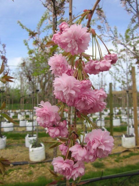 Prunus Cheals Weeping, It requires very little maintenance thrives in most free draining soils and never fails to perform.