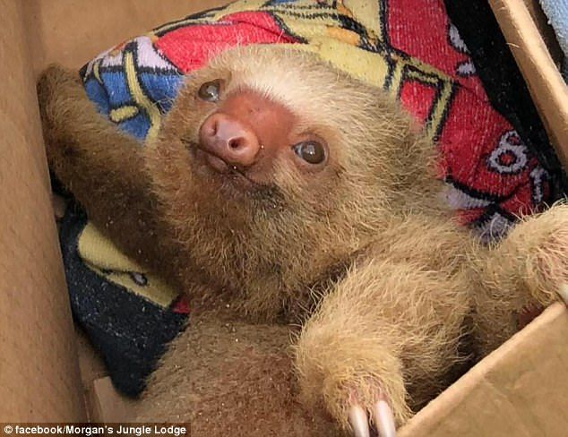 Mr Morgan said: 'We then took the baby sloth to the animal rescue center at Tranquility ju...
